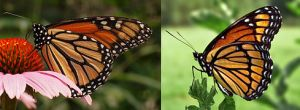 Monarch_Viceroy_Mimicry_Comparison