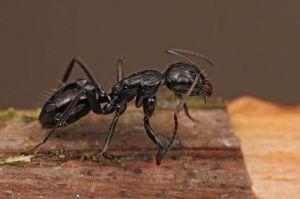 800px-Shattuck_54238,_Camponotus,_Danum_Valley,_Sabah-web_(5042361317)_(2)