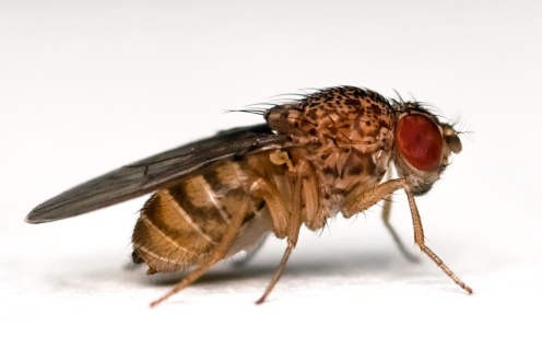 Drosophila_repleta_lateral