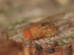Große_Essigfliege_-_Drosophila_funebris_ _(14213086147)