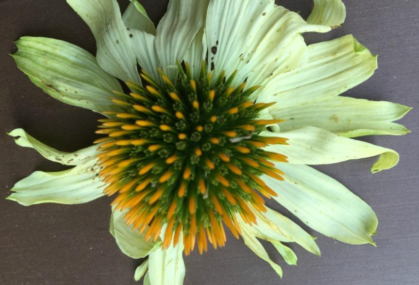Cropped Echinacea