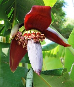 bananaflowerocotepec
