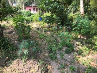 Tapioca field