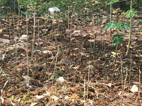 Future eggplant field