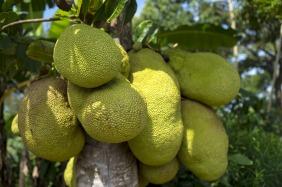 jackfruit-2108869_1920
